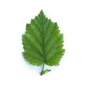 Turkish Hazel Leaf 2